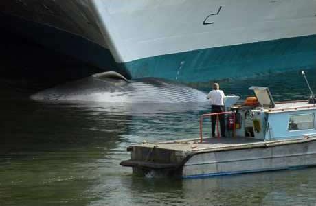 Cruise Ships Caustic Soda - Cruise ship whale