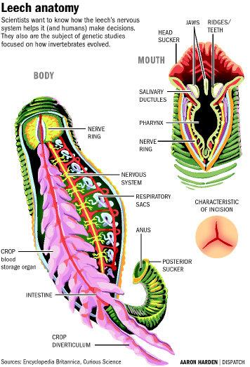 Amazing Anatomy Of Leech Adornment - Anatomy And Physiology Biology ...