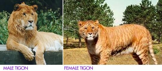 tiger vs lion page 8 sherdog forums ufc mma. Black Bedroom Furniture Sets. Home Design Ideas