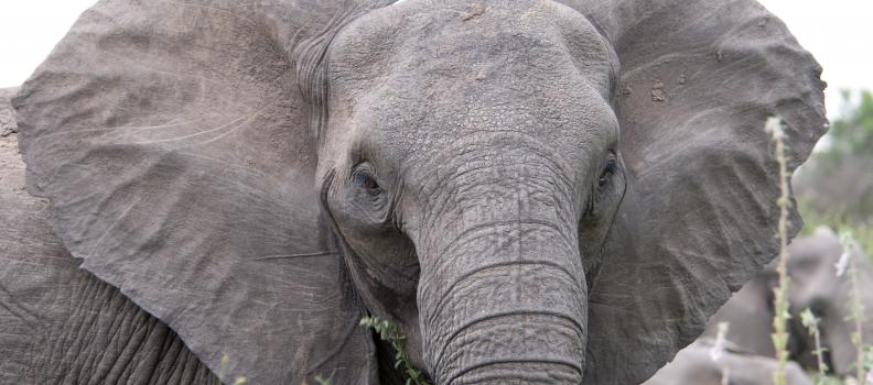 Elephants, Part 1 of 2